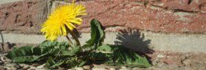 dandelion-16656_1280